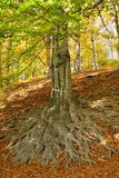 Rootage oak in wood Royalty Free Stock Photos