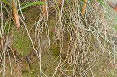 Rootage-Orchidee Stockbild