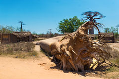 The rooted-out baobab Stock Photos