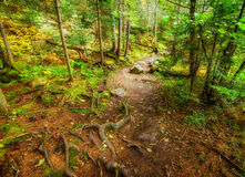 Rooted and Rocky Forest Path Stock Photo