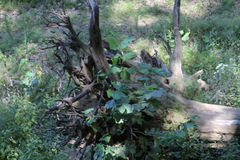 Rooted tree. A tree that has fallen over and covered in plants Royalty Free Stock Photography