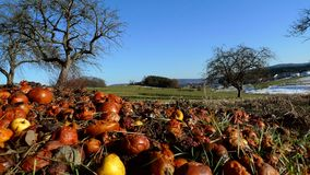 Rooten jabłka pole Obraz Royalty Free