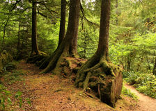 Rooting Around. Trees growing on top of old large logs in pacific northwest (Oregon Royalty Free Stock Photography