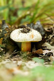 Rooting bolete Royalty Free Stock Photos