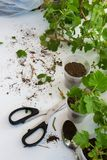 Rooting cuttings from Geranium plants in the plastic cups. DIY gardening, crafts ideas royalty free stock photos