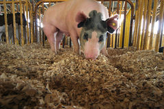 Rooting Hog. Close-up of black and white show hog rooting in sawdust in pen stock photography