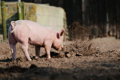 Rooting pig. Happy biological farm pig rooting in the soil, throwing the mud around, in a muddy meadow Royalty Free Stock Photography