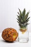 Rooting a Pineapple Stock Photo
