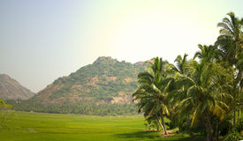 Rootpane group of coconut palm trees, flat green meadows 2 Stock Image