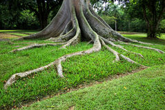 Roots. Tree base with roots above the ground stock image