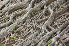 Roots. Royalty Free Stock Photography