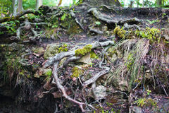Roots. Stock Image