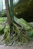 Roots. Tree roots, or the roots of a family Stock Images