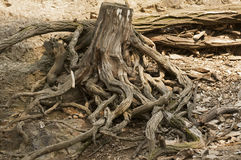 Roots. Of a dead tree in zoo Stock Images