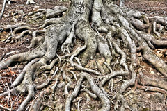 Roots Stock Photography