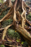 Roots. Of forest trees in Fregate Island, Seychelles stock photos