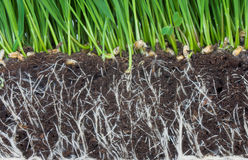 Roots. Green grass and dark soil with roots royalty free stock photos