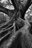 Roots. Tree roots in Lalbagh garden stock photo