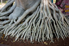Roots Royalty Free Stock Images