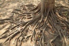 Wild banyan roots. Stock Photo