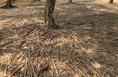 Wild banyan roots. Stock Photography