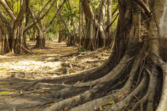 Wild banyan roots. The roots of the banyan forest Royalty Free Stock Photos