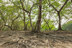 Wild banyan roots. The roots of the banyan forest Royalty Free Stock Images