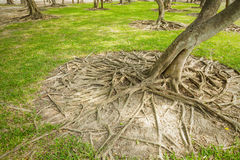Wild banyan roots. Stock Photo