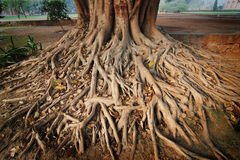 Roots of a banyan tree. Taken with a wide-angle lens royalty free stock photos