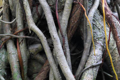 Roots of a Banyan Tree Stock Photos