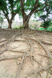 Roots of the banyan tree. In the forest Stock Photography