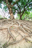 Roots of the banyan tree. In the forest Royalty Free Stock Photography
