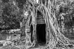 Roots of a banyan tree at Ta Prohm temple in Angkor, Siem Rep Cambodia. Roots of a banyan tree at Ta Prohm temple in Angkor, Siem Rep, Cambodia Royalty Free Stock Photo