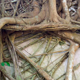Roots of banyan tree Stock Images
