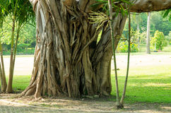 Roots of banyan tree Royalty Free Stock Image