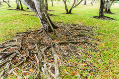 The roots of the banyan tree Stock Photo