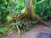 Roots of Bay Fig tree. Big fig tree (Moreton Bay Fig, Ficus macrophylla) roots in Big Island, Hawaii, USA royalty free stock photography