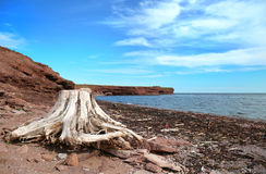 Roots on the beach in Gaspesie. Root sculpted by the sea with a bay in background in Gaspesie, Quebec, Canada Stock Photo