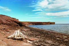 Roots on the beach in Gaspesie. Root sculpted by the sea with a bay in background in Gaspesie, Quebec, Canada Royalty Free Stock Photo