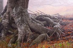 The roots of beech. Crimea, Ukraine Royalty Free Stock Images