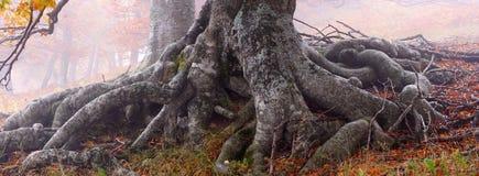 The roots of beech. Crimea, Ukraine stock photo