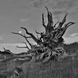 Roots of a big fallen tree Stock Photos