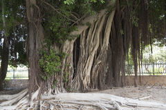 Roots of a big ficus tree Royalty Free Stock Photo