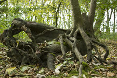 Roots. Big Roots in Forest-Brighton East Sussex Stock Photos