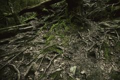 The roots of a big old tree on the ground Royalty Free Stock Image