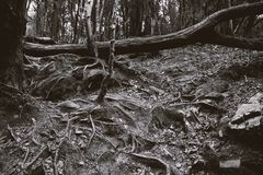 The roots of a big old tree on the ground Stock Images