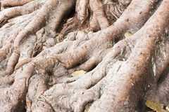 Roots of big tree Stock Photos