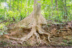 The roots of big trees Royalty Free Stock Images