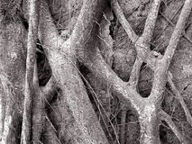 Roots Black and White. Contorsioned Roots Background stock images
