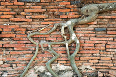 Roots of bodhi tree. On brickwall at temple,Thailand Stock Photos